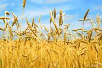 Пшеница озимая Москвич суперэлита