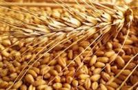 Пшеница озимая Донской маяк (суперэлита)