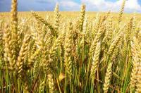 Пшеница озимая Скипетр II (супер элита)