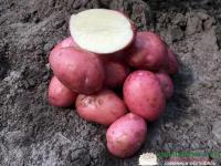 Картофель сорт Кристина 1 репродукция сетка 5 кг