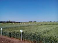 Пшеница озимая, семена