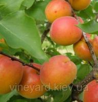 Харкот, Harcot саженцы абрикоса канадской селекции на подвое абрикос