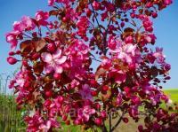 Яблоня Роялти декоративная краснолистная, саженцы 1 м, привиты на 54-118 открытый корень, горшок 400