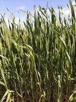 Семена озимой пшеницы Дагмар, Лимагрейн