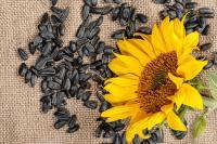 Семена подсолнечника LG 50635 CLP, Лимагрейн
