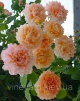 Роза Полька плетистая, саженец с открытым корнем сорт Polka, вьющаяся