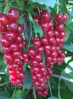 Смородина красная Ровада порички, однолетние саженцы из питомника