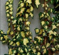 Плющ Золотое сердце лиана вечнозеленая зимостойкая для вертикального озеленения стен, черенки укорененные