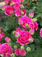 Роза Лавли Лидия кустовая мелкоцветковая спрей Lovely Lidia саженец с открытым корнем