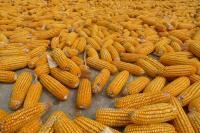 Семена кукурузы Данубио, Заатбау