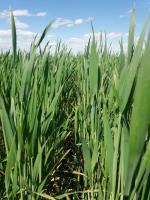 Семена озимой пшеницы Мескаль, Лимагрейн