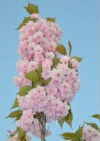 Сакура, Вишня мелкопильчатая (Prunus serrulata) саженцы с открытой корневой и в контейнерах