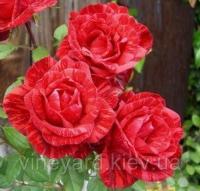 Роза Ред Интуишн чайно-гибридная полосатая для срезки, саженец с открытым корнем Red Intuition