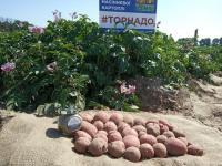 Семенной картофель Торнадо