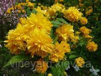 Керия японская махровая, контейнер 2,5 л, кустарник с желтыми махровыми цветами