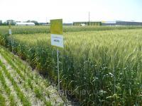 Микроудобрение для ячменя, пшеницы Минералис