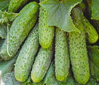 Огурцы 3, 4 сорт (для соления)
