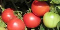 Семена томатов Тарпан F1, Nunhems, 1000 шт