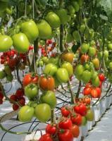 Семена томатов Колибри F1, Clause, 250 шт