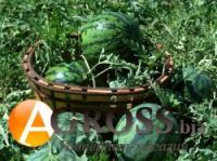 Семена арбуза Кримсон Делайт F1, Hollar Seeds, 100 г (около 2000 шт)