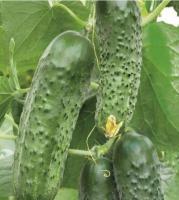 Семена огурцов Каролина F1, Lark Seeds, 100 шт