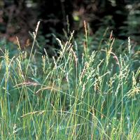 Семена Кострица луговой Маринца газонная и кормовая трава, 1 кг