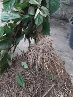 Саженцы ежевики Оушито