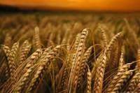 Семена ячменя ярового Гарант Премиум элита
