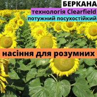 Семена подсолнечника гибрид Беркана F1