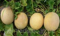 Карамель Ф1 1000 семян, дыня Clause