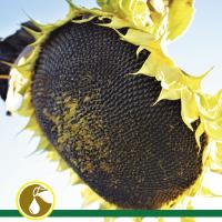 Гибрид подсолнечника Солнечное настроение (2020, стандарт), ВНИС