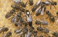 Пчеломатки украинская степная племзавод
