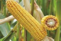 Кукуруза Хотин семена ФАО 280