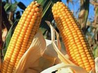 Семена гибридов кукурузы Кредо (ФАО 260)
