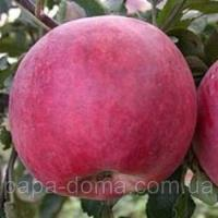 Саджанці яблуні Делічія