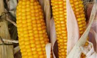 Семена кукурузы Амарок 290