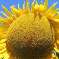 Семена подсолнечника НК Фортими Cruiser, Евралис