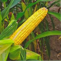 Семена кукурузы Корнади КС