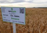 Семена озимой пшеницы Богдана элита