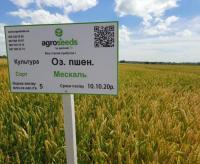 Семена озимой пшеницы Мескаль / Mesсal 1 репродукция от Agroseeds by agrotrade