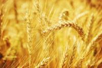 Озимая пшеница Артаплот, суперэлита