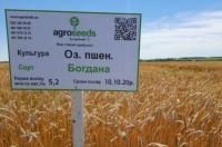 Семена озимой пшеницы Богдана 1 репр.