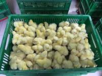 Суточный цыпленок бройлера Кобб500