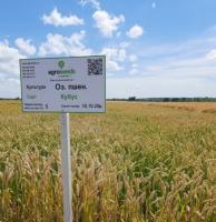 Семена озимой пшеницы Кубус / Cubus 1 репр.