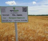 Семена озимой пшеницы Катруся одесская 1 репр.