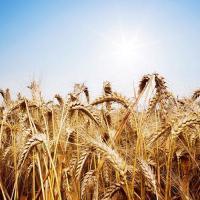 Озимая пшеница Ампер элита