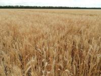 Озимая пшеница Паляница 1Р