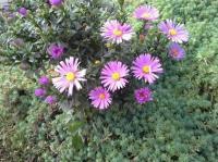 Астра альпийская розовая, низкорослая