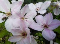Клематис Ян Павел 2, бело-розовый