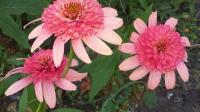 Эхинацея розовая